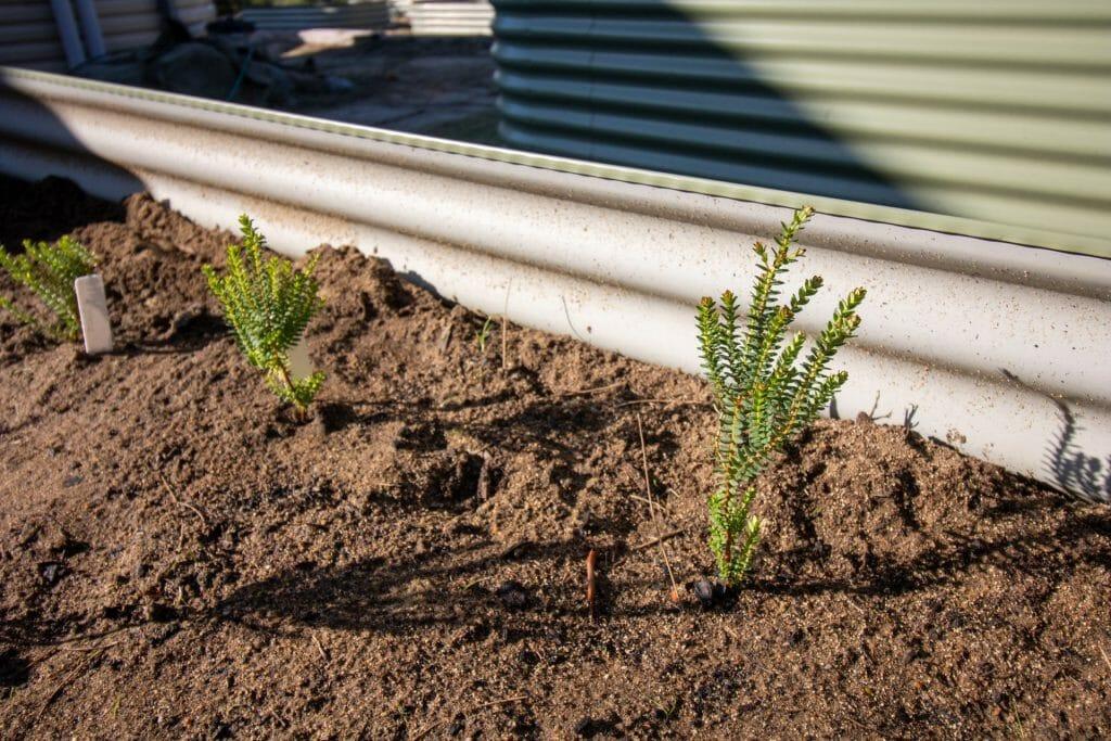Darwinia squarrosa seed production area at Woodlupine Primary School