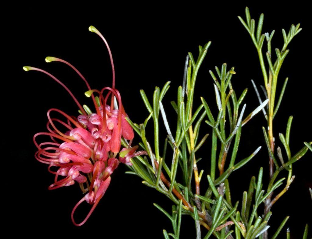 Grevillea fililoba flower
