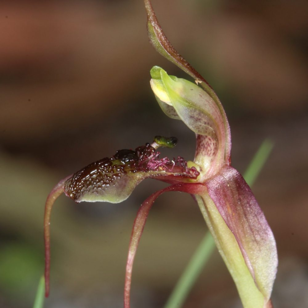 Image of Chiloglottis anaticeps