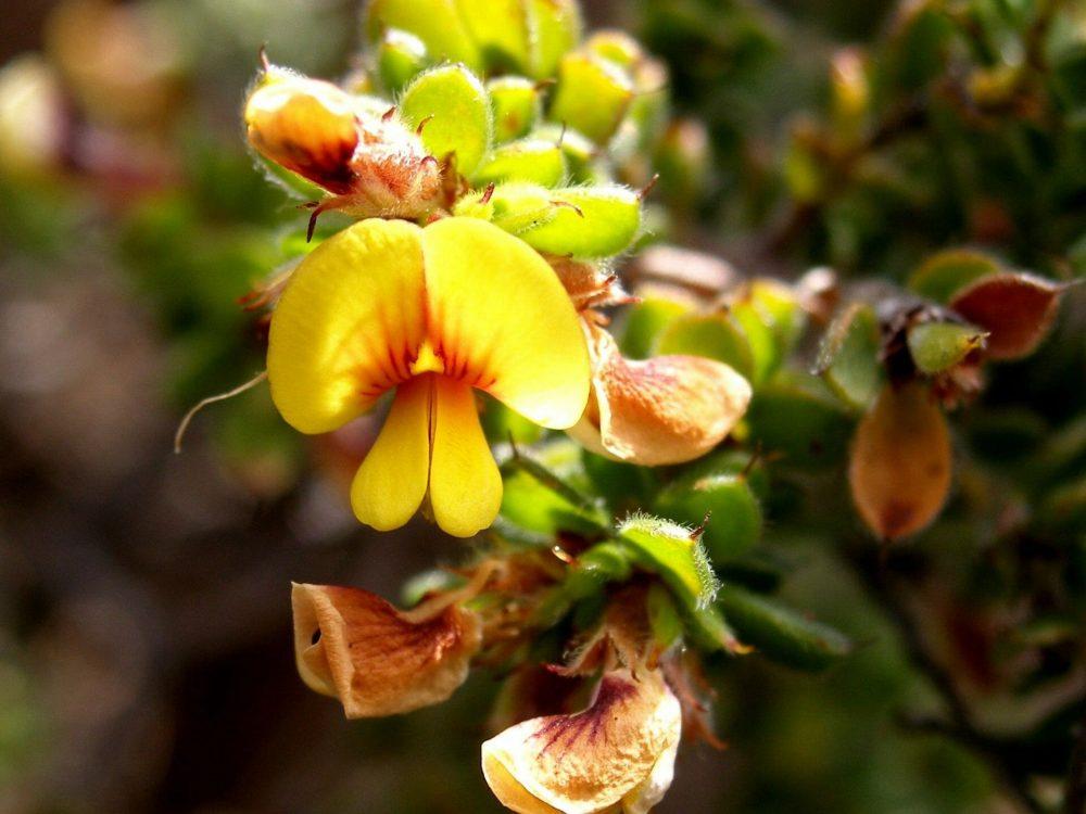 Pultenaea trifida flower 2
